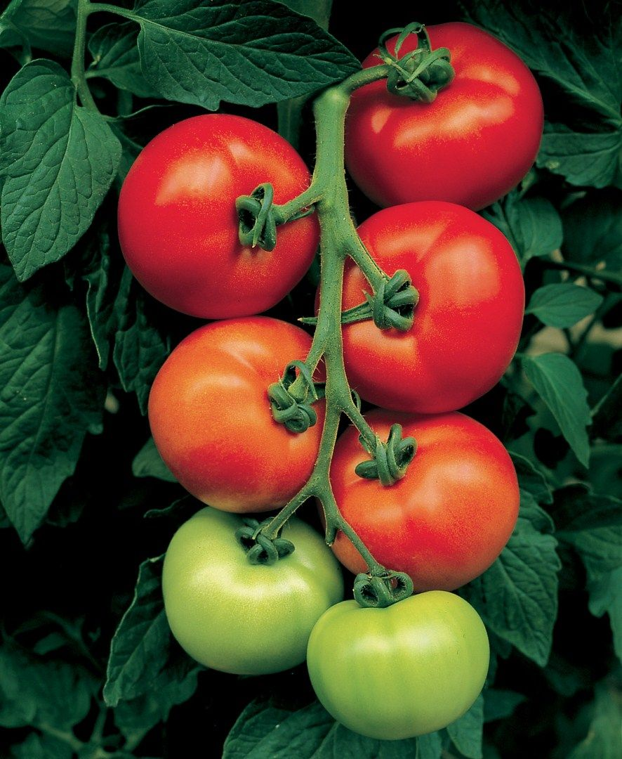 Comment Planter Vos Tomates